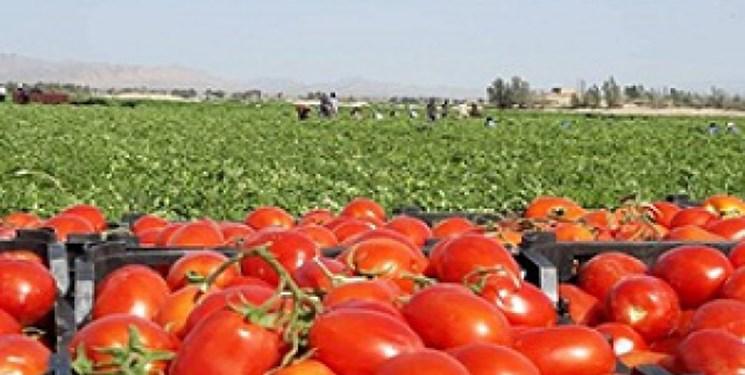 پیشبینی برداشت 8000 تن گوجه فرنگی از مزارع فیروزآباد