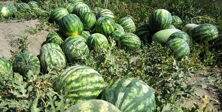 کشت ۵۶۴ هکتار هندوانه در فیروزآباد
